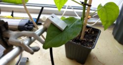 PSY1 Leaf Psychrometer on a Pepper