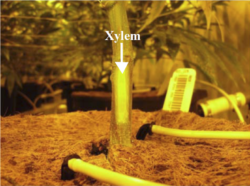 Exposed xylem tissue (water conducting tissue) to which a stem psychrometer will be attached (Photo credit: J. Stemeroff)