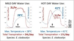 Compared Daily Water Use Data of Eucalyptus Cladocalyx